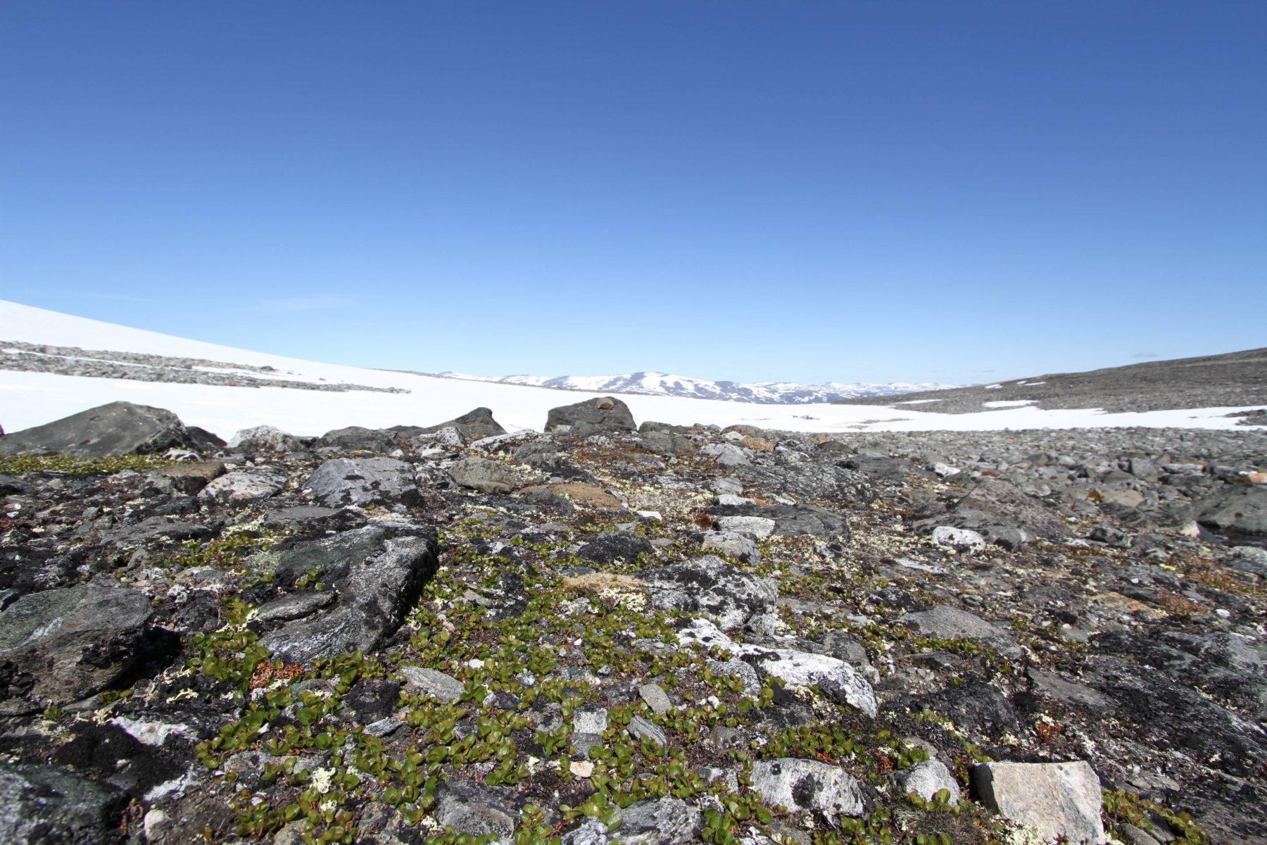 """«Å ikkje sjå skogen for bare trær"""" er jo eit uttrykk som dei fleste kjenner til. Når ein står oppe på Juvflye, godt og vel 1800 m.o.h. så er det vel heller ikkje skog ein forventar å sjå. Men ifølge den verdskjende svenske vitskapsmannen Carl von Linné er musøyra det minste tre i verda – så skogen veks tett sjølv oppå Juvflye."""